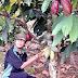 Pemeraman Biji dan Tempo Penyimpanan Terhadap Fase Kematangan Buah Kakao