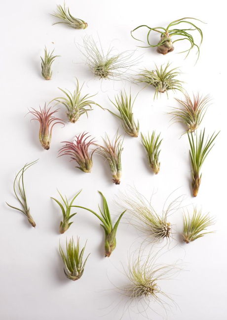 Shop Air Plants for Coastal Decorating
