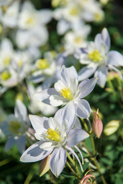 All white colored albino columbine alpine wildflowers