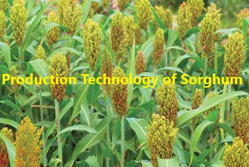 How to Grow Sorghum