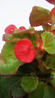 cuidados-begonia-semperflorens