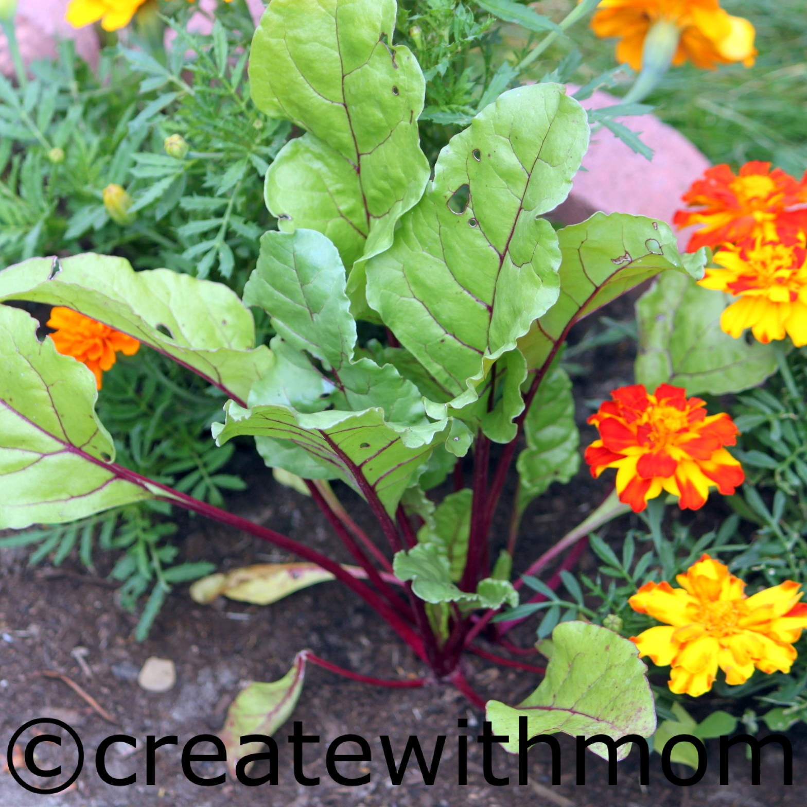 Beetroot plant