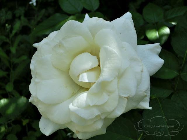 Роза White Symphony, розы, розарии, сад и розы