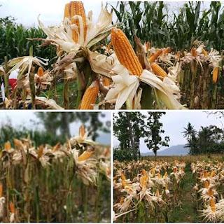 Kemenpan harga jagung tetap tinggi