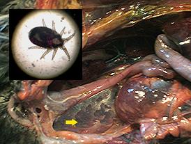 parasit kantung udara burung