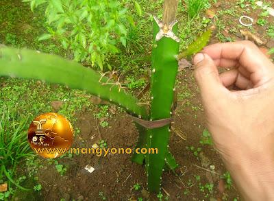 Stek tanaman pohon buah naga sudah bertunas
