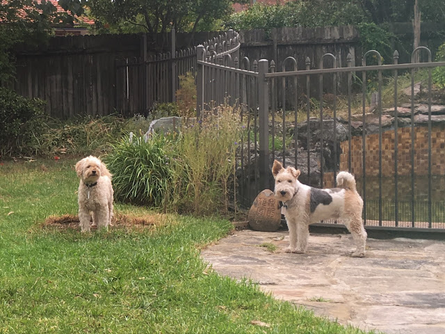 Left, a cream mini labradoodle stands on the grass. Right, a tricolour wire fox terrier stands on the pavers of the backyard.