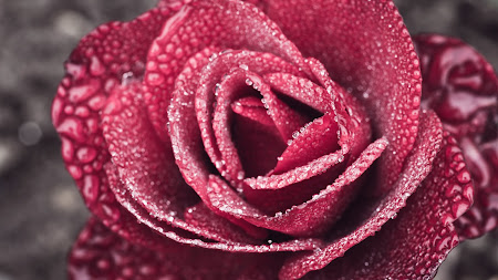 Red Rose 1920x1080 HD