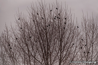 Cramer Imaging's professional quality nature photograph of birds sitting in a tree silhouetted with grey skies in Pocatello, Bannock, Idaho