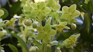 La flores verdes del eléboro de Córcega (Helleborus lividus subsp. corsicus)