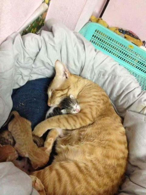 Đàn ông hãy học tập mèo bố đỡ đẻ và chăm sóc ân cần cho mèo mẹ đi