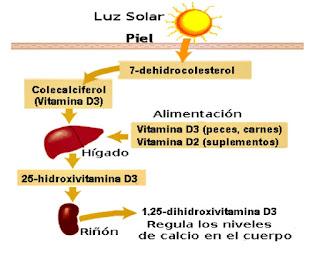 Vitamina D síntesis
