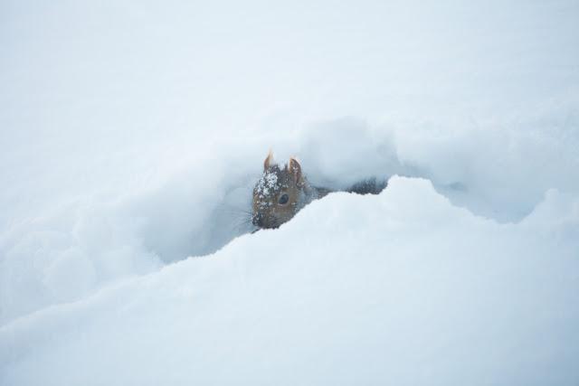 winter, squirrel, snow, Matthias Minnig, My Giant Strawberry