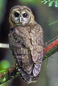 معلومات علميه عن طائر البومه Strigiformes