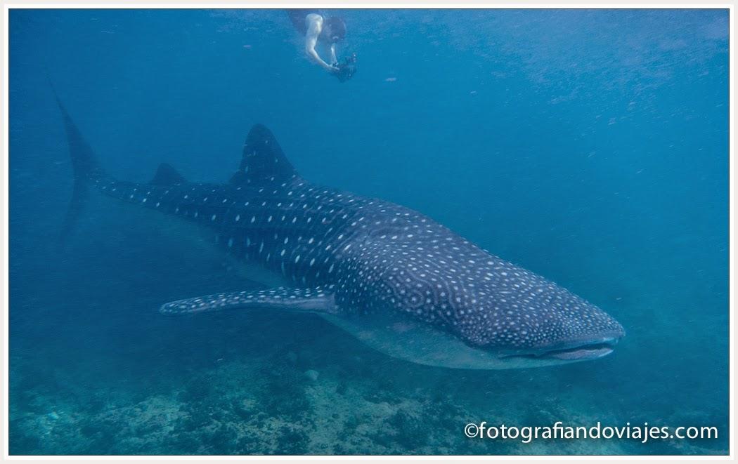 tiburon ballena en Maldivas