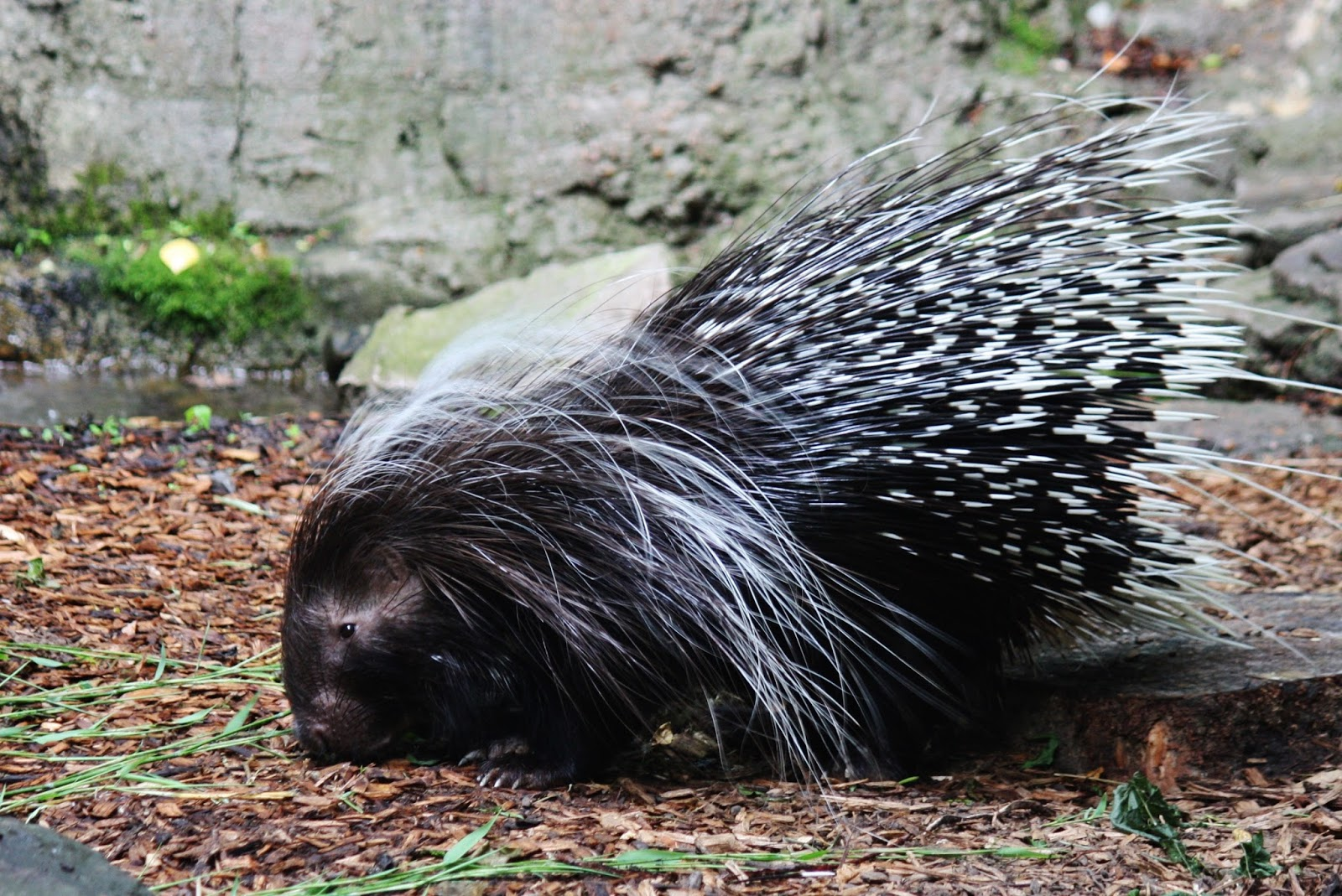 Picture of a porcupine with it's quills.