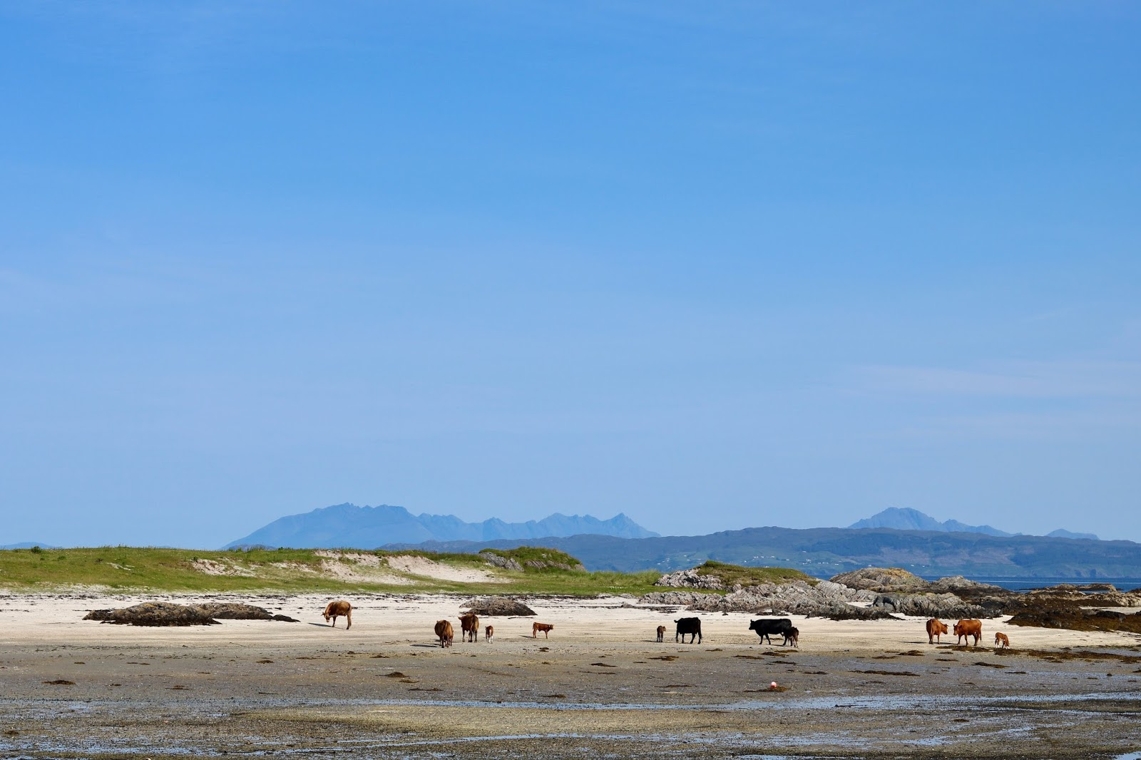 Local white sandy beach in Arisaig where the cows have taken over, www.CalMCTravels.com, The best campsites in Scotland