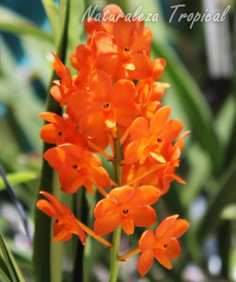 Floración de la orquídea Ascocentrum miniatum