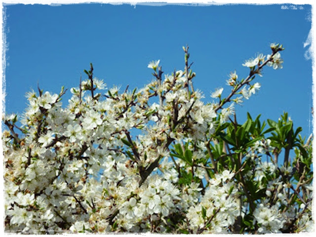 blackthorn-blossom