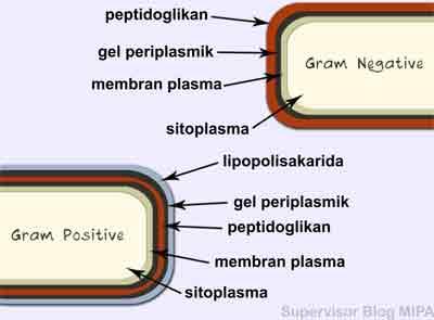 pengelompokkan jenis Klasifikasi Bakteri Berdasarkan dinding sel atau pewarnaan gram