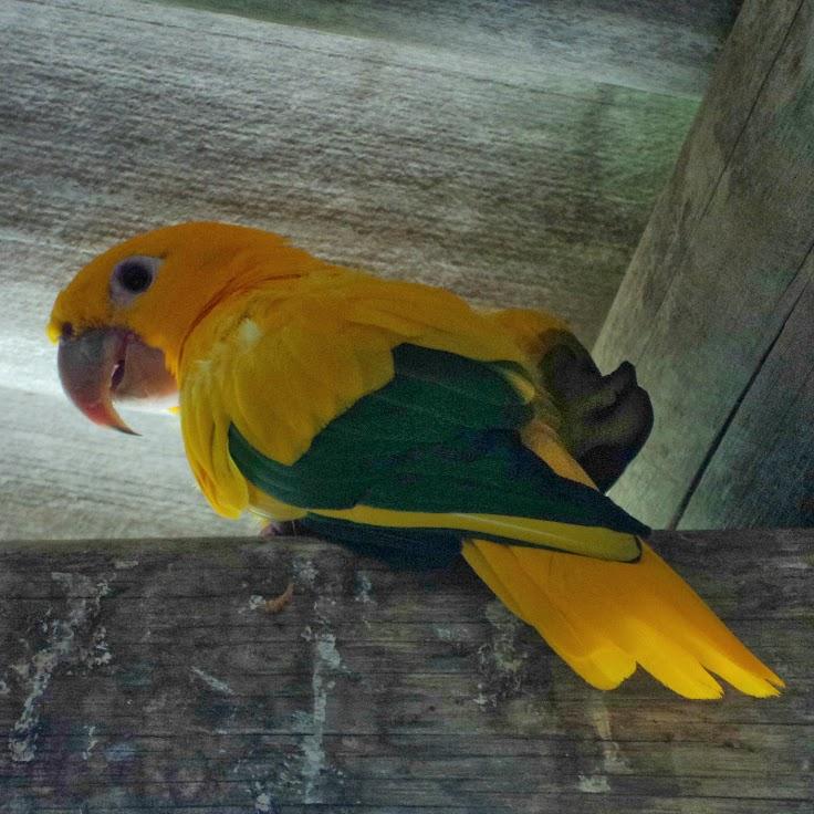 Papagaio Amarelo, no Zoo de Gramado