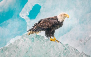 Wallpaper: Bald Eagle Glacier Bay National Park