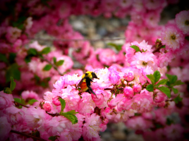 Bumblebee on Rose Tree of China Bush
