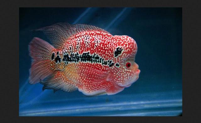 Dunia Ikan Hias - IKAN LOUHAN CENCU ATAU ZENZHU