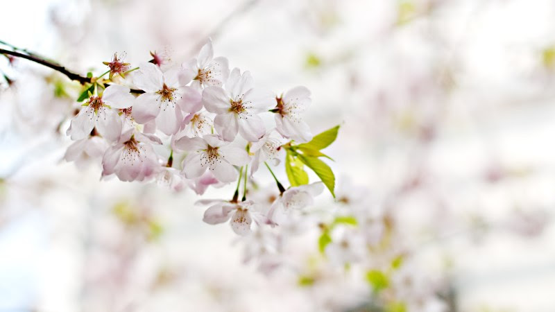 Cherry Blossoms. Flowers from Spring