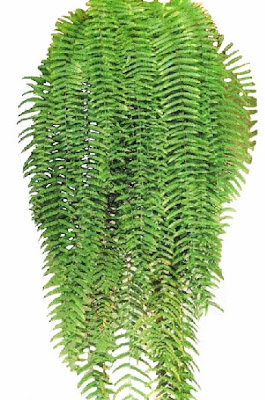 Samambaia Chorona (Polypodium persicifolium)