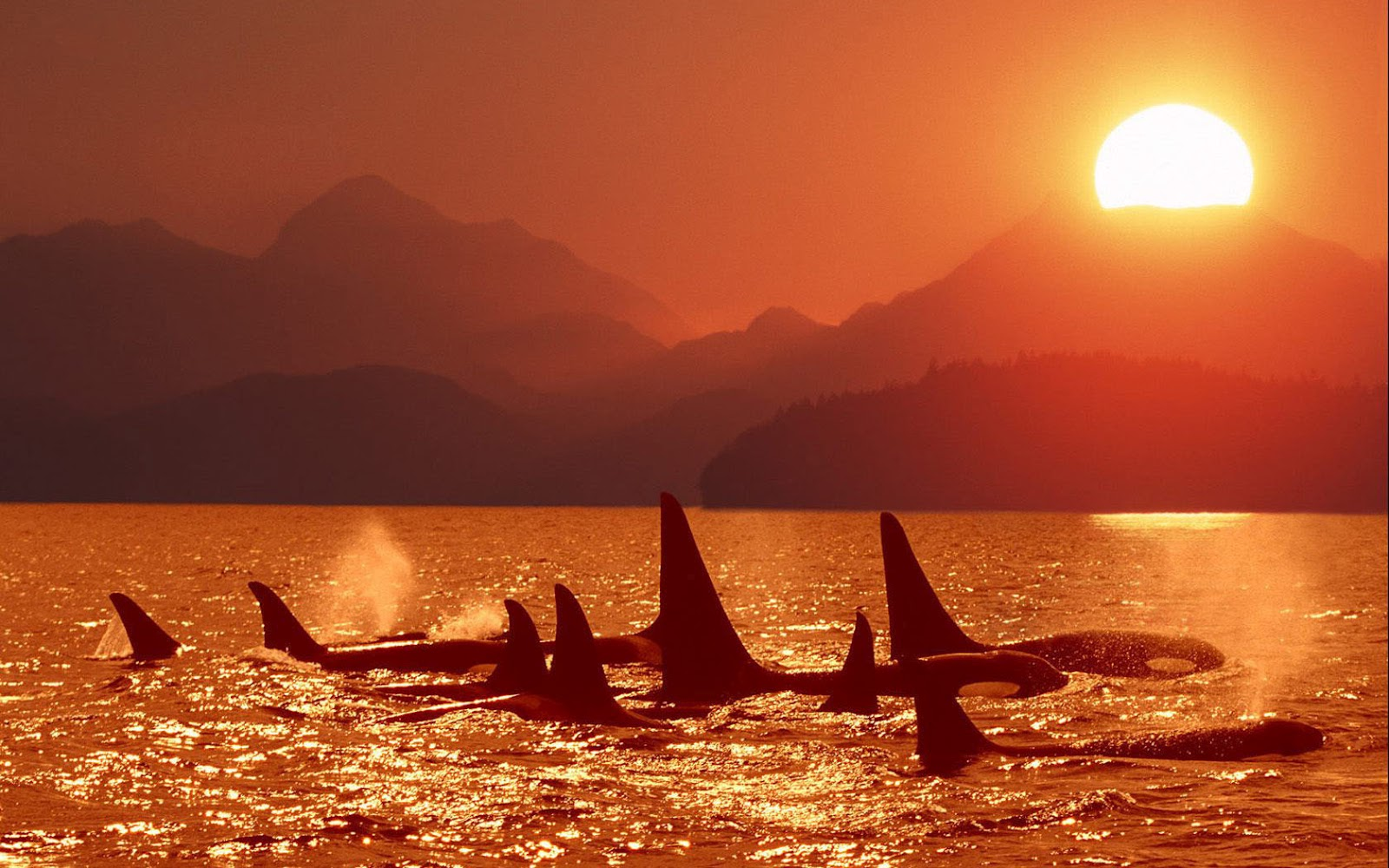 Group Of Orcas At Sundown Wallpaper Hd Animals Wallpapers