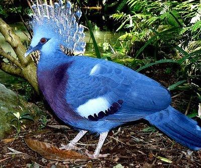 POMBO COROADO Devido à contínua perda de habitat, sendo mansos e fáceis de caçar para a sua plumas e carne, o Vitória Coroado pombo é avaliado como vulnerável na Lista Vermelha da IUCN de espécie ameaçada