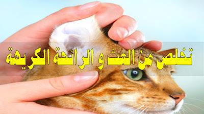 تنظيف اذن القطط بطريقة سهلة ولاتسبب مشاكل