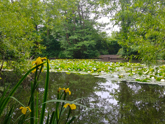 Photograph Yellow flag and water lilies on Gobions Pond in June  Image by Hertfordshire Walker released under Creative Commons BY-NC-SA 4.0