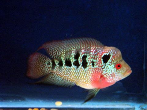 Flowerhorn The Hybrid Cichlids: Baby Kamfa