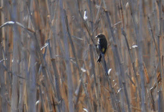 small bird perched on a blade of reed grass