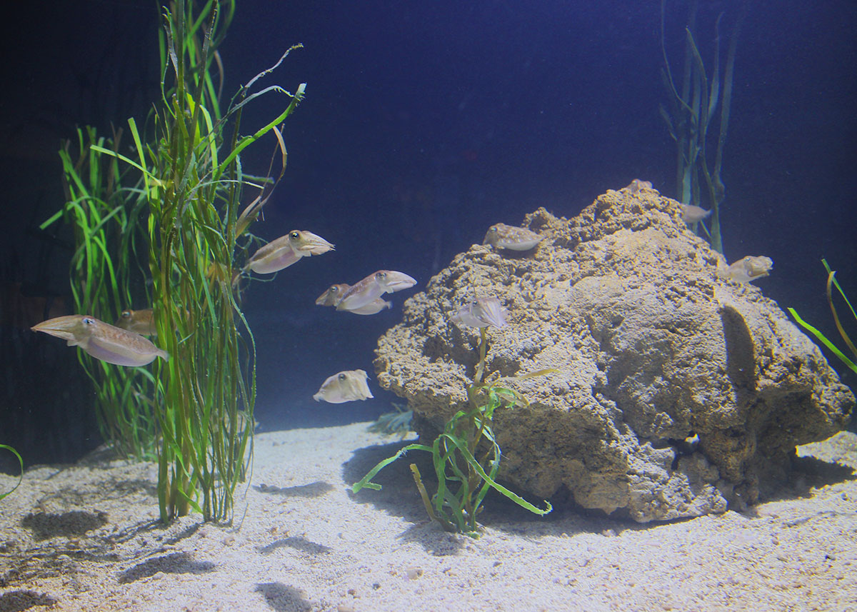 Fish for cold water aquarium - Even Camouflaging Cuttlefish Need To Eat