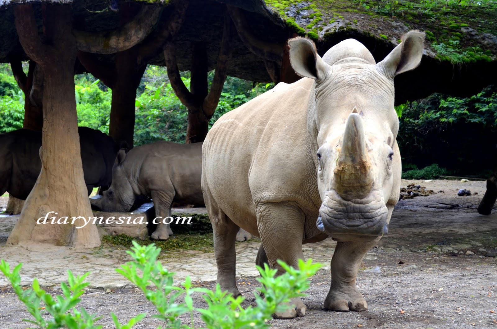 Javan rhinoceros or Rhinoceros sondaicus, how many javan rhinoceros are left in Indonesia, native animals from java, diarynesia