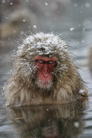 Japanese Snow Monkeys Bathing in Hot Springs 5