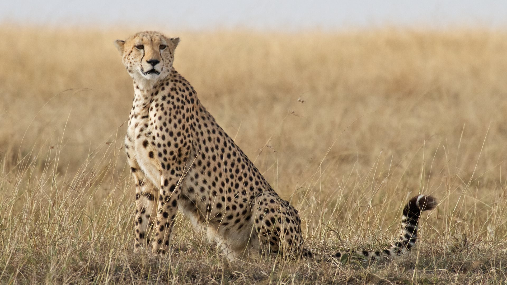 cheetah in the wild wallpapers in hd 4k and wide sizes