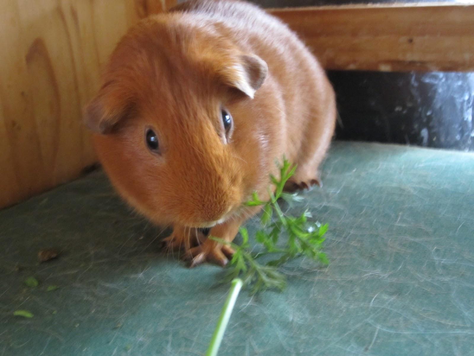 cobayas comiendo tallos de zanahorias