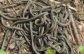 Mating ball of Garter snakes