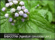 PESTISIDA NABATI dari bahan rumput Babadotan atau Bandotan (Ageratum conyzoides Linn.)
