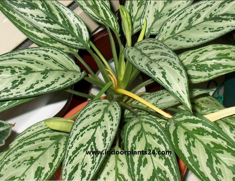 Agave americana. Agavacea plant photo