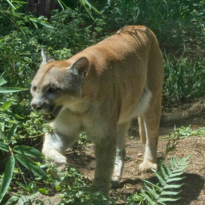 Puma Passeando pelo Gramado Zoo