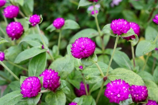 Manfaat tumbuhan Obat Bunga Kenop/Gomphrena globosa L.