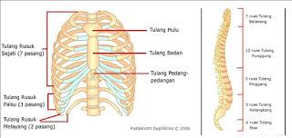 Penyusun tulang rusuk dan ekor manusia