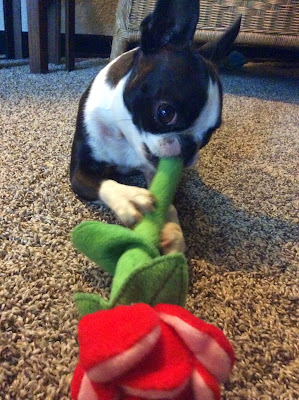 Sinead the Boston terrier chews on a toy