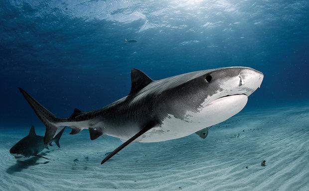 Tubarão ataca casal em jet ski