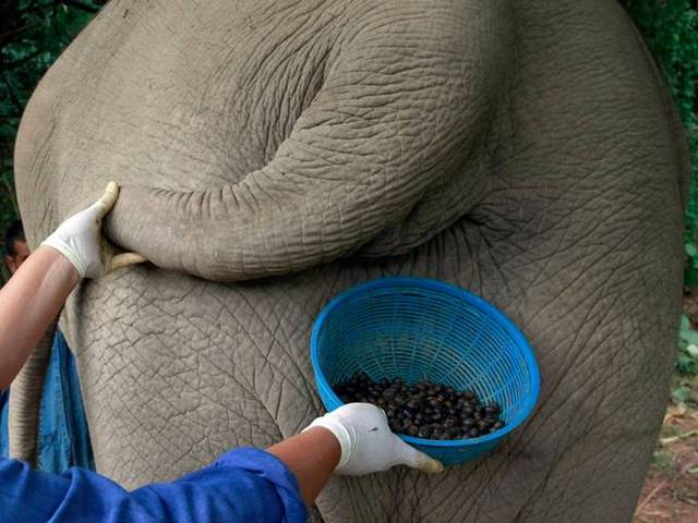 Coffee from an elephant's gut fills a $50 cup